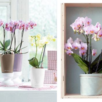 Orchidėjų kompozicijos
