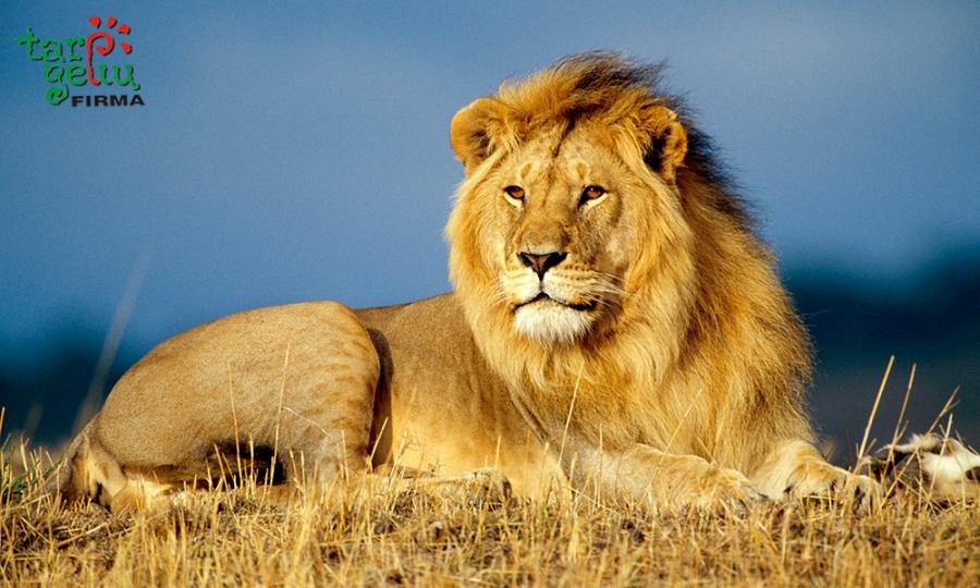 Pasveikinkite Liūtą karalių