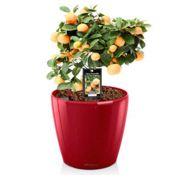 Apelsinmedžio priežiūra