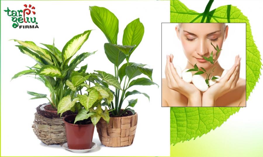 Kambariniai augalai ir sveikata