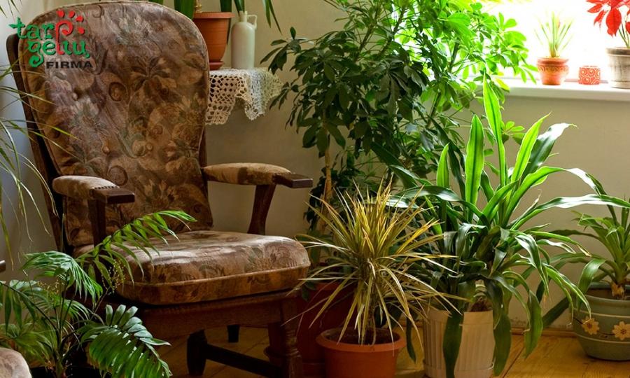 Kambariniai augalai ar oro drėkintuvas?