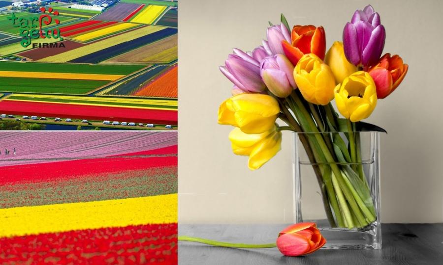 Tulpės - pavasario gėlės