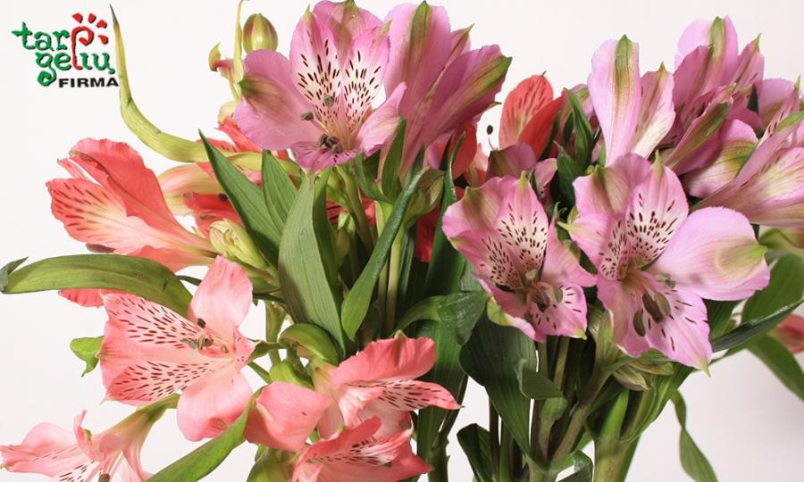 Gėlės alstromerijos