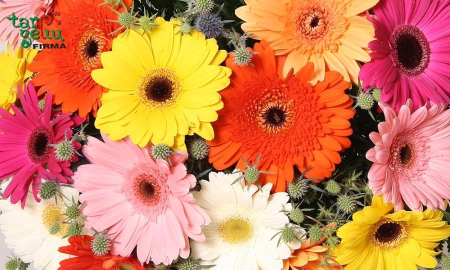 Gėlės gerberos