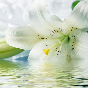 Gėlė LELIJA