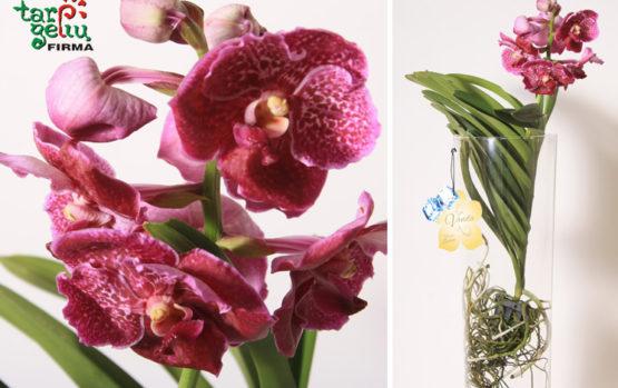 Orchidėjos VANDA priežiūra