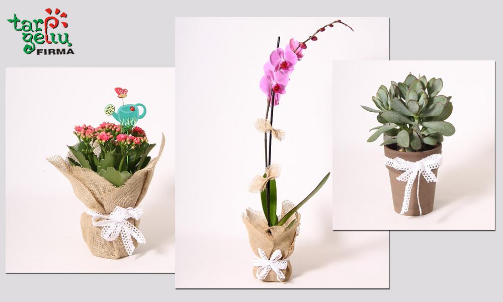 Vazoninių gėlių pakavimas