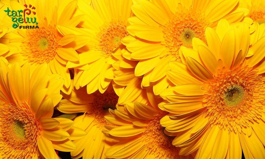 Dovanokite geltonas gėles!