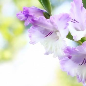 Rugpjūčio gėlės kardeliai