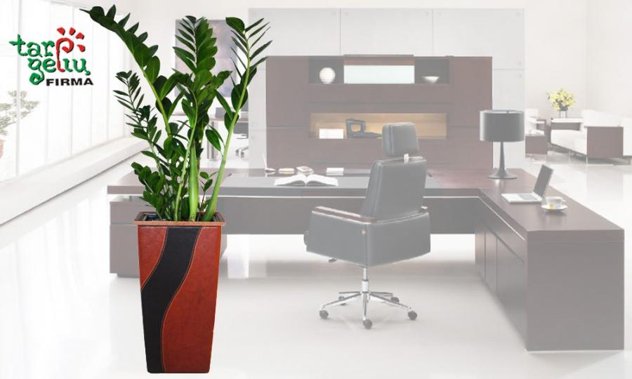 Ką pasakytų G. Armani, jeigu boso kabinete atsirastų toks augalas?