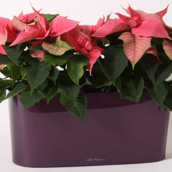 Kalėdinės gėlės priežiūra