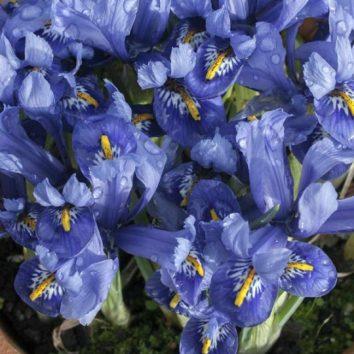 Legendiniai irisai