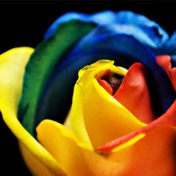 Vaivorykštinės rožės