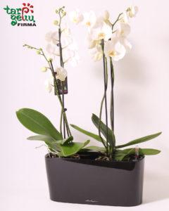 Orchidėjos ir vazonas