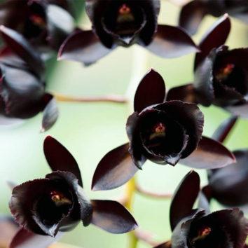 Orchidėjų šeima turi naują narę