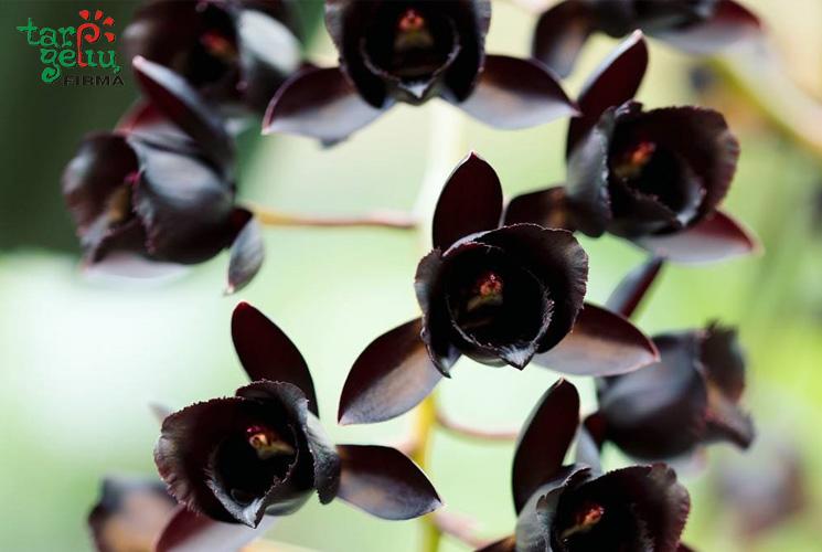 Juodoji orchidėja
