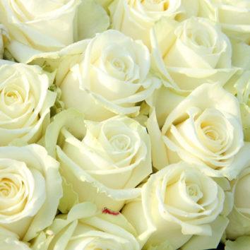 Tos baltos rožės…