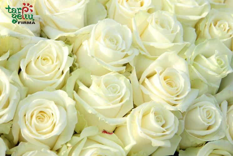 baltos-rozes
