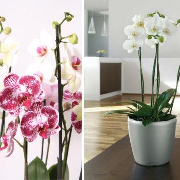 Apie orchidėjų simboliką