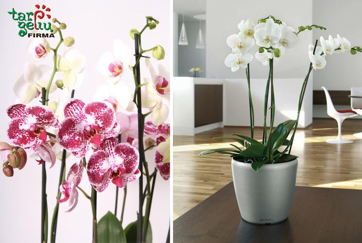 orchideju-simbolika