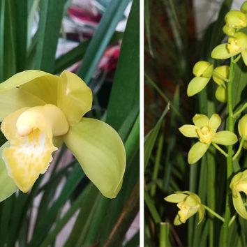 Aukštaūgių orchidėjų žydėjimo metas