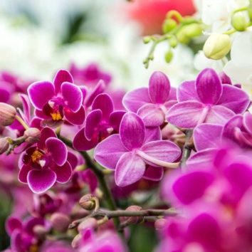 Orchidėjos. Legendos ir faktai