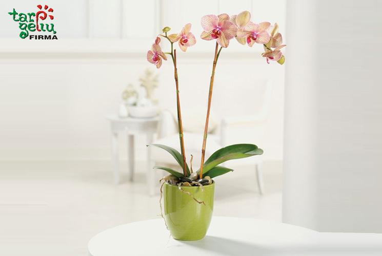 Įsigijote ar jums padovanojo orchidėją?