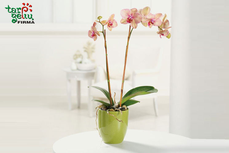 orchideja_blogas