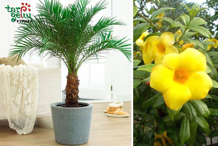 Palmė ir alamanda