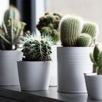 Kaktusai SUPER!
